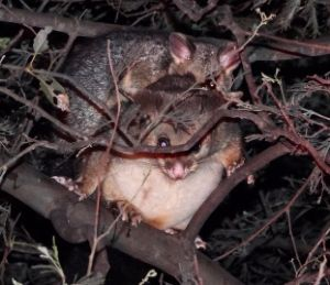 Possums galore thrill night walkers